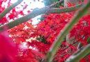 加拿大维多利亚的枫叶