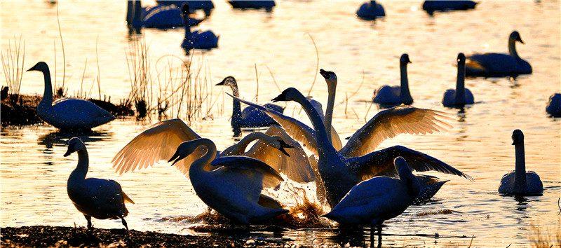 艾尔默野生动物管理区掠影之六:天鹅之舞